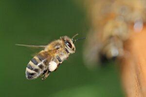 Le api respirano di sollievo! Dal 16 aprile 2020 al bando il chlorpyrifos.