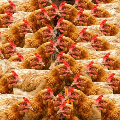 Etichettatura europea benessere animali: il si dell'Italia