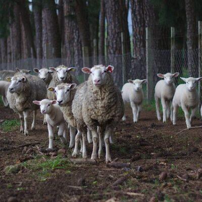 Settore del latte ovino: via libera del CIPE a 20 milioni per i contratti di filiera