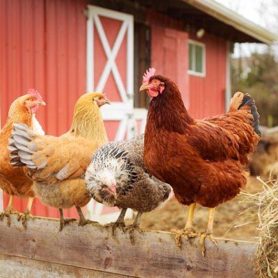 Nuovi focolai di influenza aviaria. Aggiornate le misure UE.