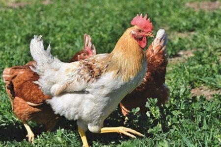 Ancora influenza aviaria in Europa e ora anche negli Stati Uniti. Misure di protezione UE ed extra UE.