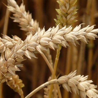 A decorrere dal 27 aprile nuovi dazi nell'importazione dei cereali