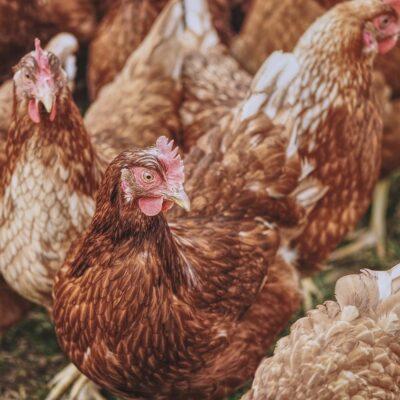Influenza aviaria e contagio umano: le raccomandazioni OMS